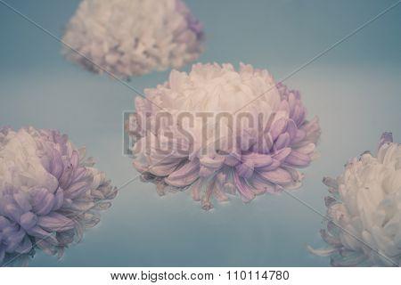 chrysanthemum flowers float  light blue water, closeup, selective focus