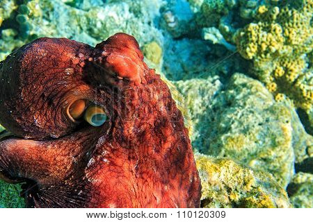 Red Octopus Is On A Coral Bottom