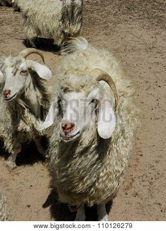 Angora Goat Ram