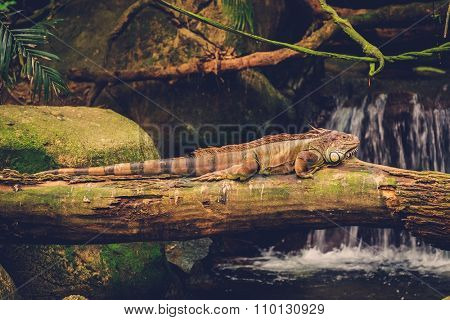Green iguana lying on the branch of tree