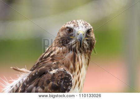 Rough-legged Hawk Looking At Camera