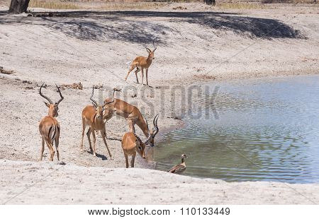 Impalas Drinking Water