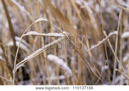 Thickets Of A Cane Or Reed With The Snow