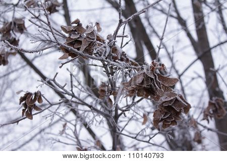 Hoarfrost On The Maple Branches