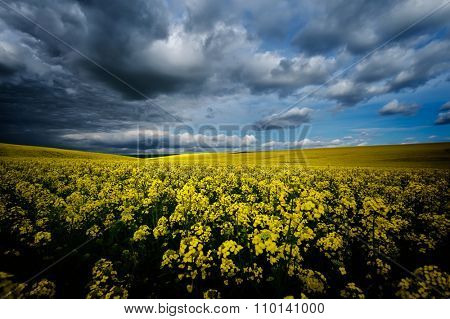 blooming rapeseed field in spring with cloudy sky