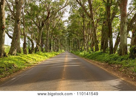 Famous Tree Tunnel Of Eucalyptus Trees