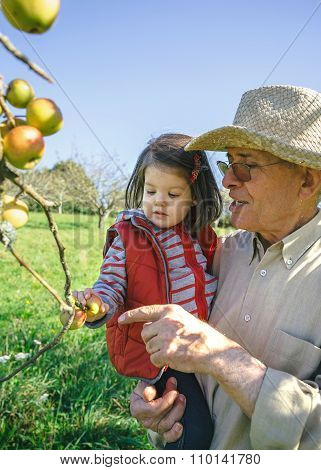 Senior man holding adorable little girl picking apples