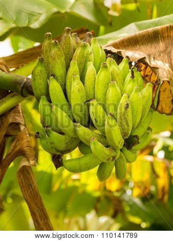 Bunch Of Green Bananas On Tree From Below