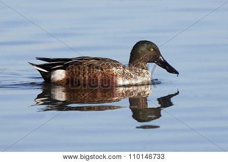 Male Northern Shoveler Duck
