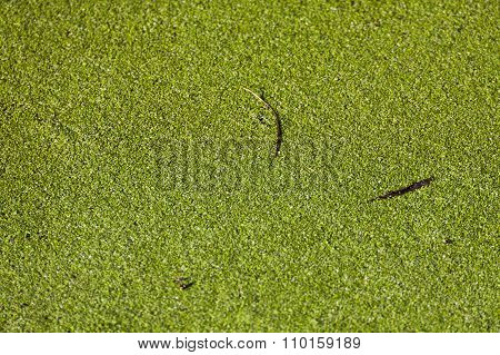 Duckweed, Lemna Minor
