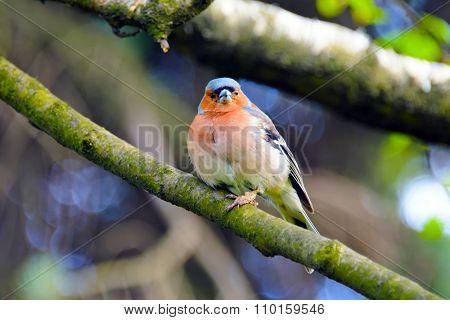 Chaffinch bird, Fringílla coelebs.
