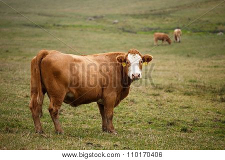 Cows Grazing On Autumn Pasture