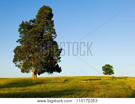 Large Tree Dominates Small Tree On Hillside