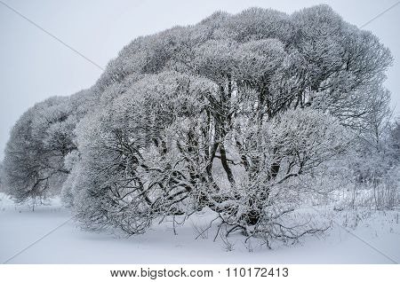 Salix Fragilis (brittle Willow) Trees Covered With Snow