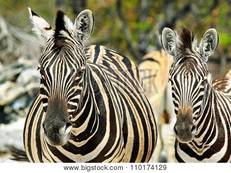 2 zebras looking directly ahead