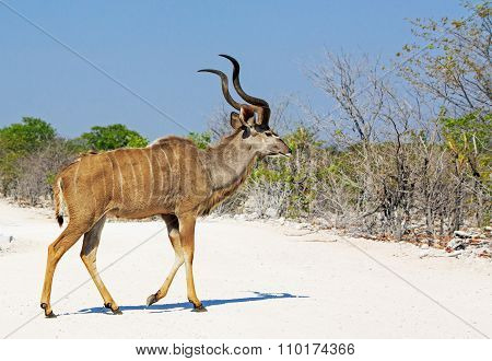 An isolated Kudu walking across a dusty road