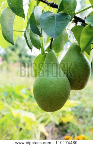 Fruits Of Pear Bere