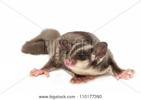 A Sugar Glider Lying On The Floor