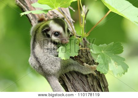 Sugar-glider Climb On The Tree