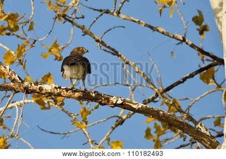 Sharp-shinned Hawk Hunting From The Autumn Tree