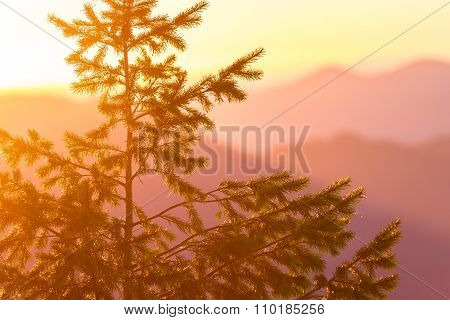 Duoglas Fir At Sunset