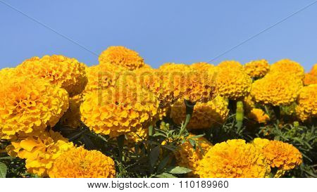 Marigolds And Blue Sky For Background Ratio 16:9