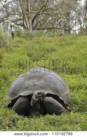 The Galapagos Tortoise Or Galapagos Giant Tortoise (chelonoidis Nigra).