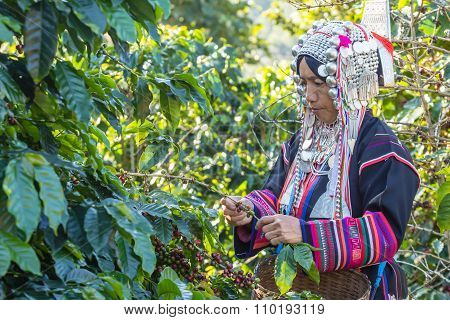 Worker Tribal Dress Were Harvesting Ripe Coffee Bean