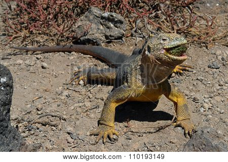 Sharp Meal. The Land Iguana Eating Prickly Pear Cactus.