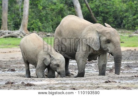 African Forest Elephant, Loxodonta Africana Cyclotis, Of Congo Basin. At The Dzanga Saline (a Forest