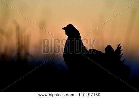 Silhouette Of Lekking Black Grouse ( Lyrurus Tetrix) Against The Dawn Sky.