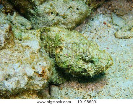 Scorpionfish, Island Bali, Pemuteran