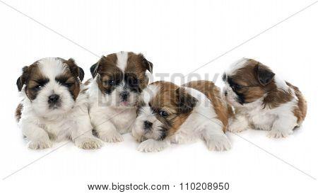 Four Puppies Shitzu