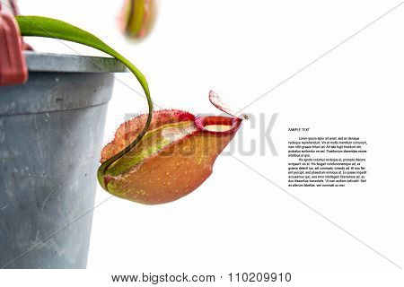 Nepenthes Ampullaria Jack flower in pot, isolated on white background