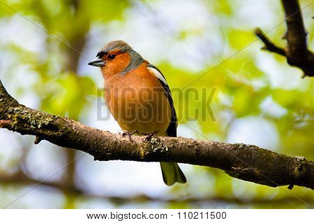 Chaffinch bird, bird on branch in the Park.