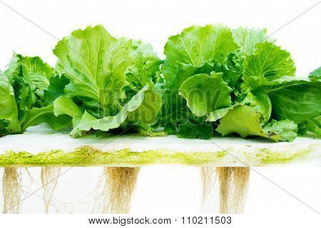 Green Lettuce Hydroponic