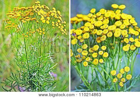 Wild-growing medicinal plant common tansy (Tanac?tum vulg?re)