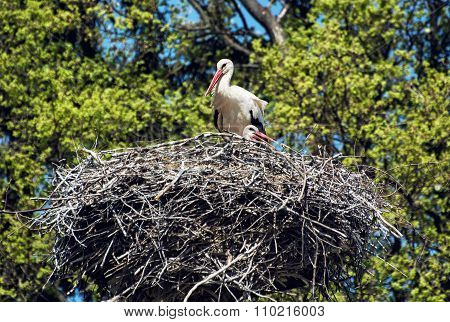 Family Of White Stork (ciconia Ciconia) In The Nest, Animal Scene