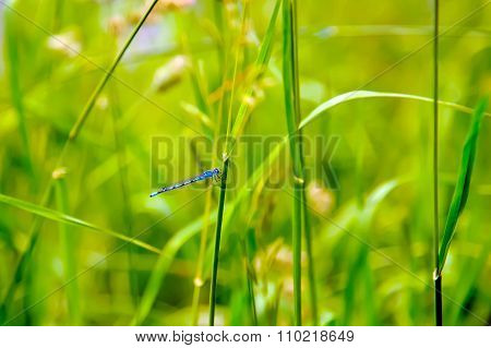 Blue dragonfly in the grass.