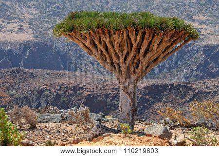 Dragon tree - Dracaena cinnabari - Dragon's blood - endemic tree