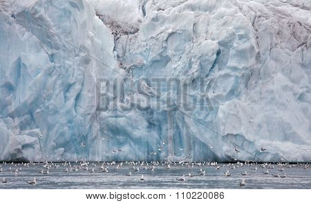 Seagulls feeding near glacier wall (Franz Josef Land)