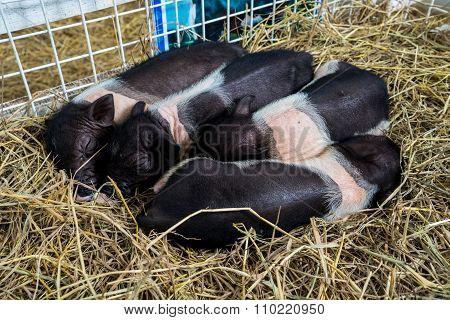 Dwarf Hog In The Cage