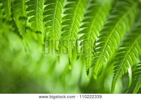 Fresh Green Ferns