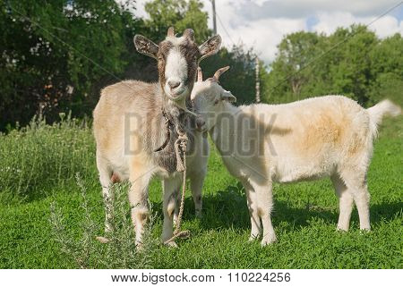 Goat And  Kid  On The Green Grass