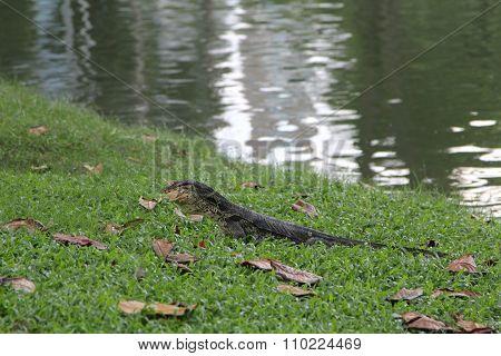 Asian water monitor eating frog, Animal.