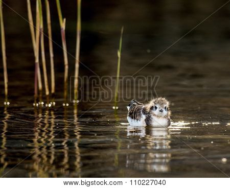 The Baby Bird Of A Little Gull (larus Minutus) Floats On Water