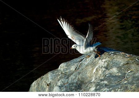 Seagull Leaving Rock At River