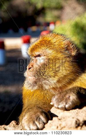 Old Monkey In Africa Morocco And  Fauna Close Up