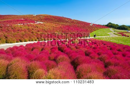 kochias hill in autumn season