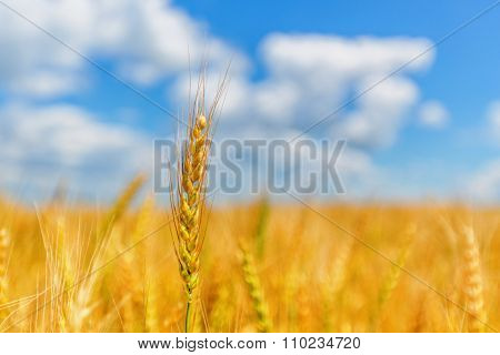Wheat Ear On A Background Of Field And Cloudy Sky